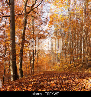 Common Beech (Fagus sylvatica) forest in Fall. Germany - Stock Photo