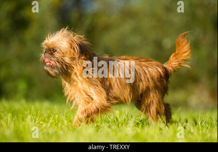 Griffon Bruxellois, Brussels Griffon. Adult dog running on a meadow. Germany - Stock Photo