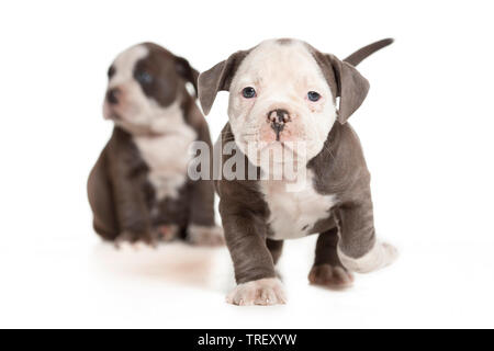 English Bulldog. Puppy walking towards the camera. Studio picture against a white background. Germany - Stock Photo