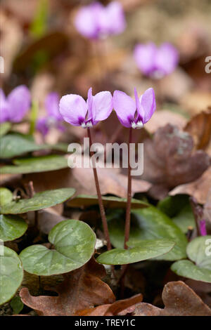 European Cyclamen (Cyclamen purpurascens), flowering plants on the forest floor. Germany Stock Photo