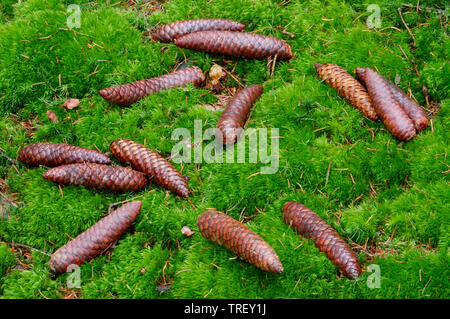 Common Spruce, Norway Spruce (Picea abies), cones lying on the forest floor. Germany - Stock Photo