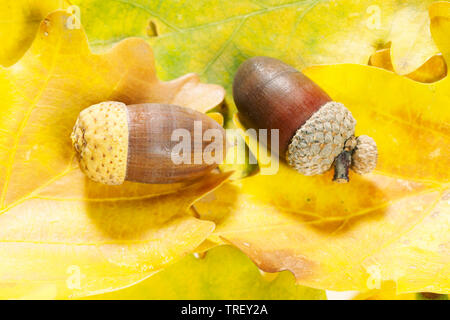 Common Oak, English Oak (Quercus robur). Acorn on leaf litter in autumn. Germany - Stock Photo