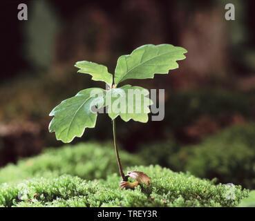 Common Oak, English Oak (Quercus robur). Germinating Acorn on moss. Germany - Stock Photo