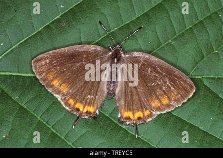 Black Hairstreak (Satyrium pruni). Butterfly on a leaf. Germany - Stock Photo
