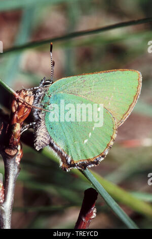 Green Hairstreak (Callophrys rubi),. Butterfly on a bud. Germany. - Stock Photo