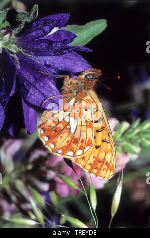 Niobe Fritillary (Fabriciana niobe, Argynnis niobe). Butterfly on a blue flower. Germany - Stock Photo
