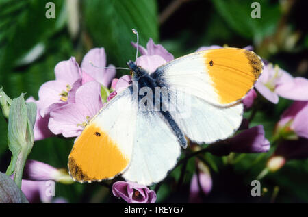 Orange Tip (Anthocharis cardamines). Male on a flower. Germany - Stock Photo