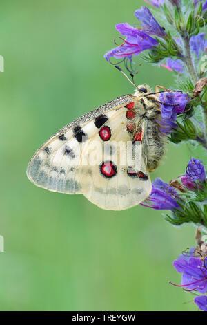 Mountain Apollo (Parnassius apollo). Butterfly on a flower. Germany - Stock Photo