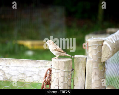 Female House Sparrow-Passer domesticus perched on a wooden garden fence post - Stock Photo