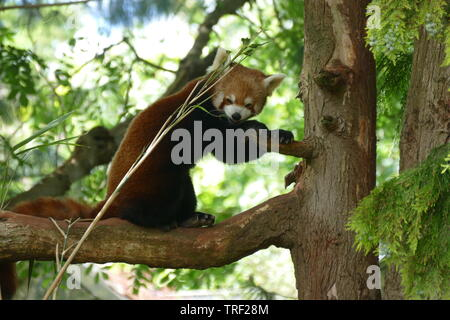 Red Panda eating bamboo up a tree - Stock Photo