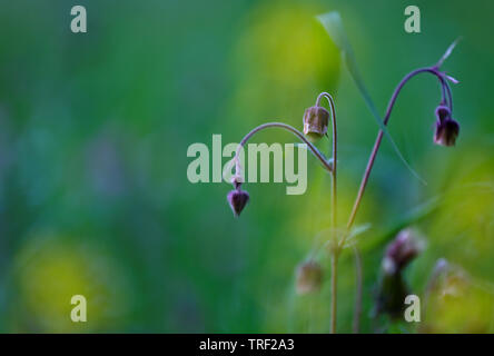 Geum rivale (water avens, purple avens) with greyish background - Stock Photo