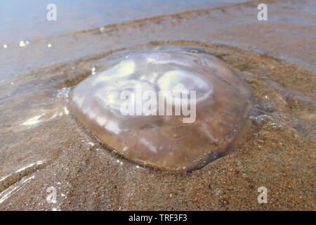 Jellyfish in the sand on a hot sunny day - Stock Photo