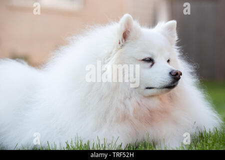 A portrait of an American Eskimo dog. These dogs are a member of the Spitz family, originating in Germany. - Stock Photo
