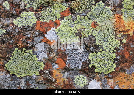 Colourful Upland Lichens, Migneint-Arenig-Dduallt Special Area of Conservation, Snowdonia, Wales - Stock Photo