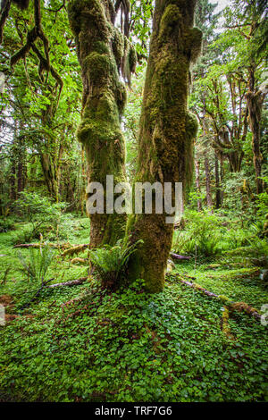 A moss covered tree trunk in the Quinault Rainforest, Olympic National Park, Washington, USA. - Stock Photo