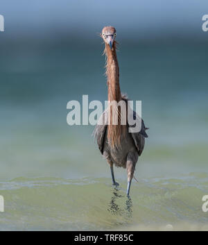 Reddish Egret walking on the beach - Stock Photo