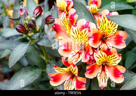 Alstroemeria, or Peruvian Lily, Indian Summer variety in a herbaceous border in suburban back garden, London, UK - Stock Photo