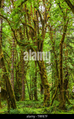 A forest scene in the Quinault Rainforest, Olympic National Park, Washington. - Stock Photo