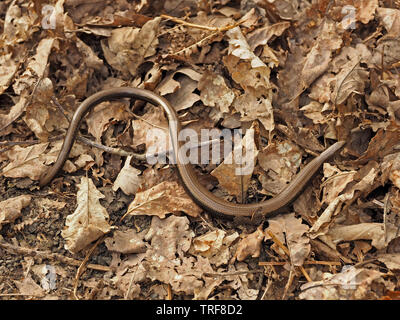 Common Slow-worm (Anguis fragilis) a legless lizard reptile aka deaf adder, slowworm, blindworm, or long-cripple, in leaf litter of a wood in Cumbria - Stock Photo