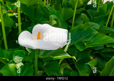 White calla lily (Zantedeschia aethiopica), blooming with green leaves background background - Stock Photo
