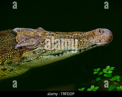 Saltwater crocodile  Crocodylus porosus  CAPTIVE - Stock Photo