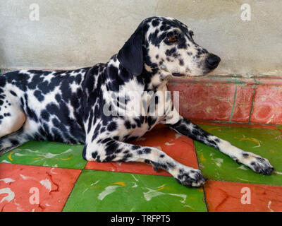 dalmatian dog on the floor and in the background a gray wall - Stock Photo