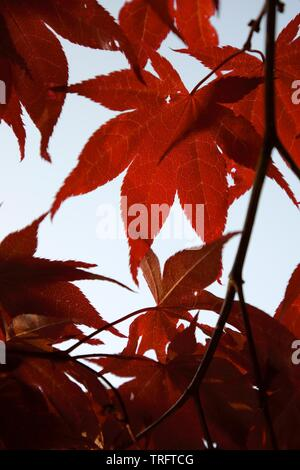 Red Japanese maple leaves lit by sun in the morning - Stock Photo