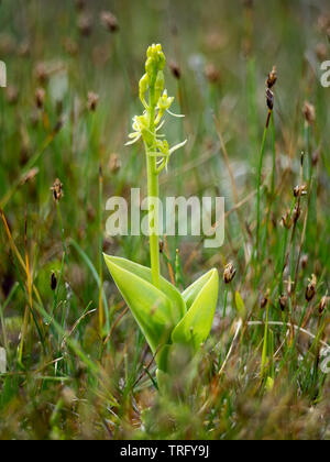 Fen orchid Liparis loeselii subspecies ovata growing in dune slacks at Kenfig Burrows in South Wales - Stock Photo