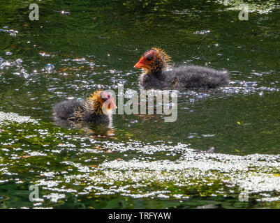 Young coot chicks Fulica atra with red beaks and yellow downed heads out for their first swim in a Somerset lake, UK - Stock Photo