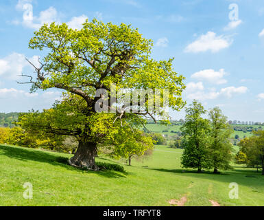 Old English oak tree Quercus robur in fresh spring livery at Okeover Park in Staffordshire UK - Stock Photo
