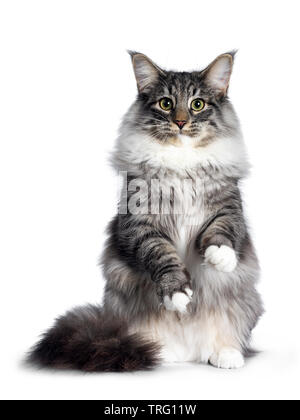 Cute Norwegian Forestcat youngster, sitting on hind pwas facing front. Looking at camera with green / yellow eyes. Isolated on white background. Front - Stock Photo