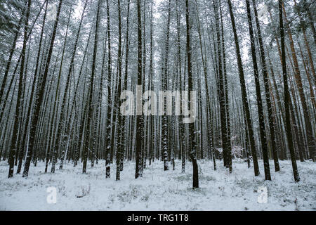 Snowy pine forest in the winter - Stock Photo