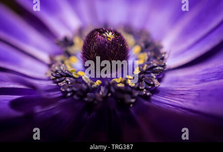 Beautiful macro view inside a vibrant bright purple and blue Wood Anemone Spring flower showing pollen stamen, filaments and anther closeup - Stock Photo
