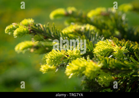 Fresh green needles sprouting at the end of a branch on a conifer in spring symbolic of the seasons in a close up detailed view - Stock Photo