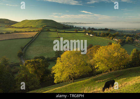 Cattle on the ramparts of Cadbury Castle, Corton Denham on a misty autumnal morning, South Somerset, England, UK - Stock Photo