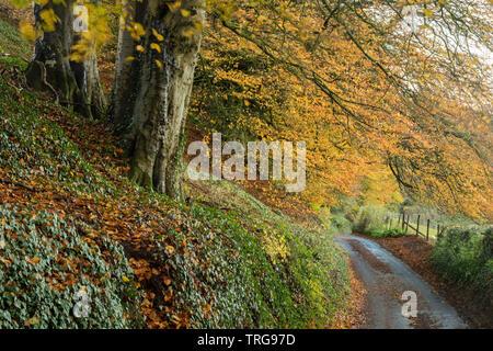 Autumn colours along the road, Corton Hill, Somerset, England, UK