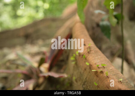 Ants on the buttress roots of a tree in the jungle, Quebrada Valencia, Magdalena, Colombia - Stock Photo
