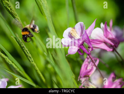 A busy bee amongst Aquilegia flowers. - Stock Photo