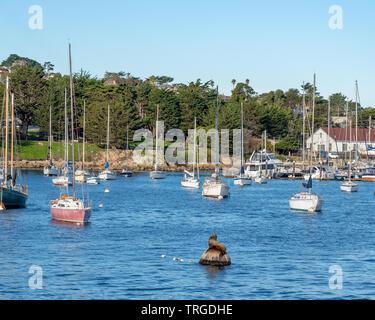 Zalophus californianus, Californian Sea Lion, suns himself on ball floating in the Monterey Bay. - Stock Photo