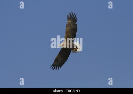 White-tailed Sea Eagle - Stock Photo