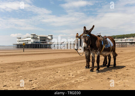 The donkeys on Weston Super Mare beach with the The Grand Pier in the background - Stock Photo