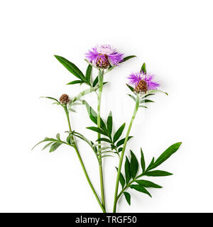 Pink centaurea knapweed flower bunch with flowers, leaves and steam. Purple cornflowers in summer garden arrangement isolated on white background with - Stock Photo