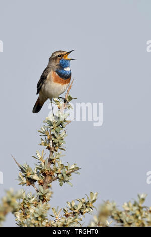 White-spotted Bluethroat / Blaukehlchen ( Luscinia svecica ) adult male, perched on seabuckthorn, singing, wildlife, Europe. - Stock Photo