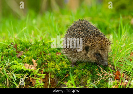 Hedgehog, (Scientific name: Erinaceus Europaeus) wild, native, European hedgehog in natural woodland habitat with green moss and grasses.  Close up. - Stock Photo