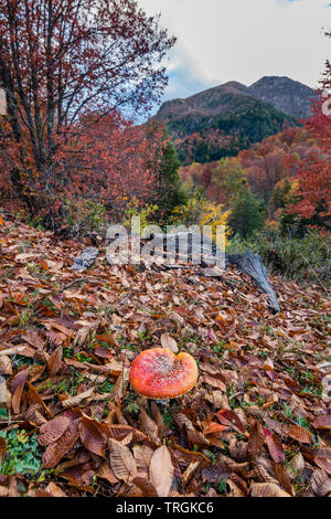 Amanita muscaria, commonly known as the fly agaric or fly amanita, Villarica National Park, Chile - Stock Photo