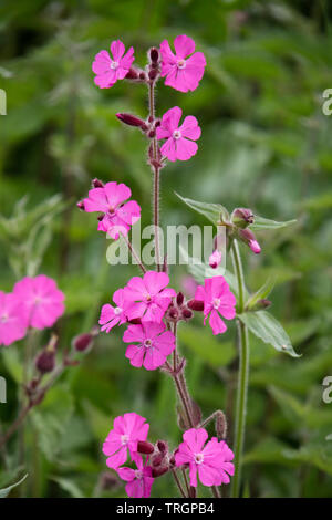 Red campion 'Silene dioica', England, UK - Stock Photo