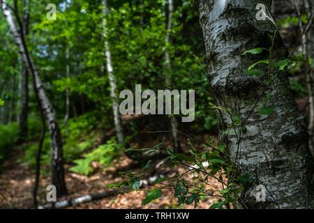 birch trees on trail ito schrammstein panoramic view n saxon switzerland, germany - Stock Photo