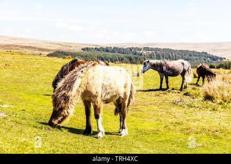 Dartmoor ponies, Dartmoor pony, Equus ferus caballus, Dartmoor horses, pony, ponies, Dartmoor, Devon, Dartmoor horse, grazing horses, Dartmoor Devon, - Stock Photo