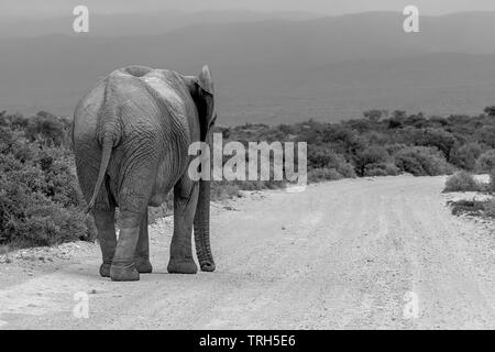 A lone elephant, Loxodonta africana walking down a gravel road Addo Elephant Park, Eastern Cape Province, South Africa in monochrome - Stock Photo