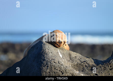 A peacefully sleeping Galapagos Sea Lion (Zalophus wollebaeki) with the face on a rock and the sea als background. Galapagos Islands, UNESCO World Her - Stock Photo